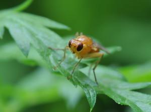 Фото морковной мухи, fotki.yandex.ru