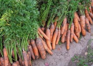 На фото - урожай моркови, felicity10.ru