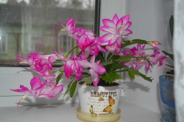 кактус с розовыми цветами уход