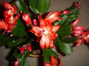 Комнатные цветы – уход, перед которым не устоит даже декабрист