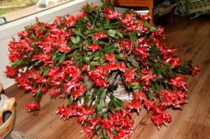 Комнатные цветы – уход, перед которым не устоит даже декабрист фото