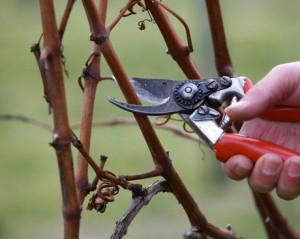 На фото - осенняя обрезка черенков винограда, groni.ru