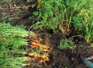 Подготавливаем морковь к зимовке
