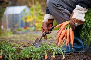 Подготавливаем морковь к зимовке фото