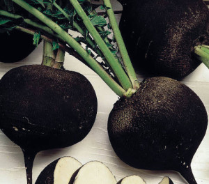 Редька черная на зиму – подготавливаем к хранению