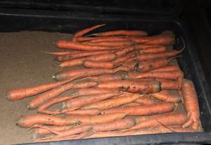 Как хранить морковь в подполе – в сухом и влажном песке фото