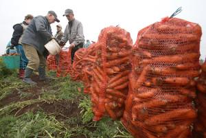 Фото сбора урожая моркови, kosht.info