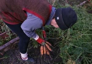 На фото - выкапывание моркови, sekretfermera.ru