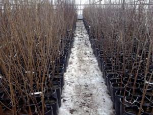 На фото - корнесобственные саженцы вишни, pitomnik18.ru