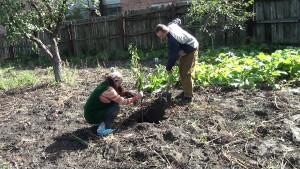 Фото посадки саженца вишни, youtube.com