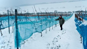 Фото замерзших кустов винограда, snezhinka.7bb.ru