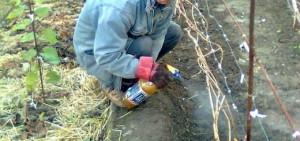 Фото опрыскивания винограда фунгицидами осенью, grounde.ru
