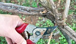 На фото - обрезка побегов винограда осенью, rmnt.ru