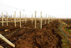 На фото - присыпание землей лоз винограда на зиму, da4a-sad.ru