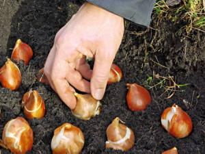 На фото - посадка луковичных цветов осенью, vashsovet.com.ua