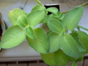 Фото комнатной мяты, orhidei.org