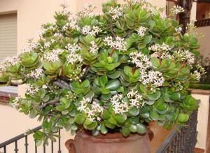 На фото - комнатный цветок денежное дерево, foto-flora.ru