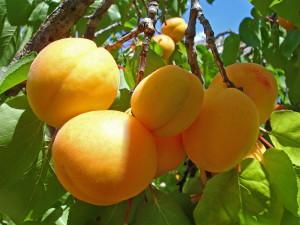 Плоды солнца, или чем полезны абрикосы