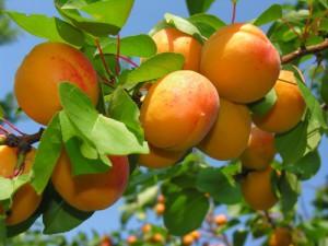 Плоды солнца, или чем полезны абрикосы фото