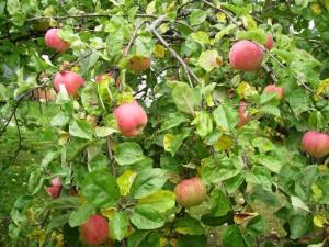 Райские плоды – витамины и не только