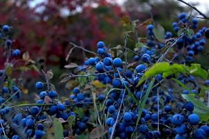 Фото терновника с ягодами, rafoto.ru