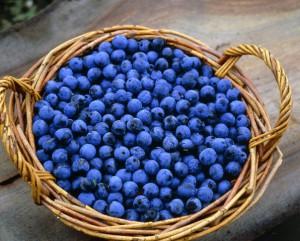 На фото - зрелые плоды терна, 100рецептов.рф