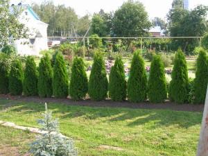 На фото - низкорослые деревья вдоль забора дачи, moidachi.ru