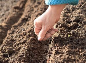 Фото посадки семян лука под зиму, supersadovnik.ru