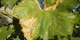 Лечение антракноза винограда