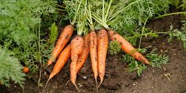 Что можно садить после моркови – чередуем грядки