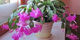 Домашний цветок-«декабрист» – уход и выращивание