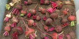 Надежное хранение свеклы в погребе – храним до нового урожая