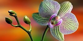 Орхидея – красивые цветы, непростой уход
