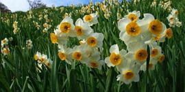 Нарциссы, посадка и уход – горделивые цветки в доме и на участке