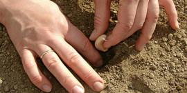Подготовка чеснока к посадке осенью – выращиваем чеснок-гигант!