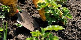 Подкормка клубники после сбора урожая – помогаем восстановить силы