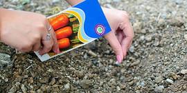 Посадка моркови под зиму – ожидаем ранний урожай