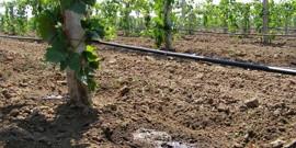 Полив винограда летом – залог хорошего урожая осенью!