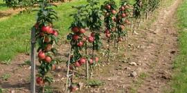 Расстояние между яблонями при посадке – полезные советы