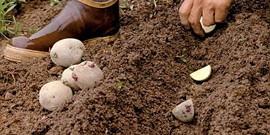 Способы посадки картофеля – что выбрать садоводу?