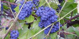 Виноград Изабелла в Подмосковье – правильный уход в холодном климате