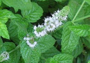 Лечебная мята: полезные свойства растения