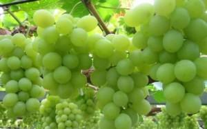 Фото зимостойкого сорта винограда, kiev.ko.olx.ua