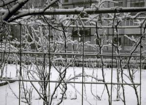 На фото - саженцы неукрывного винограда, kavicom.ru