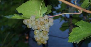 Фото неукрывного сорта винограда Кристалл, subscribe.ru