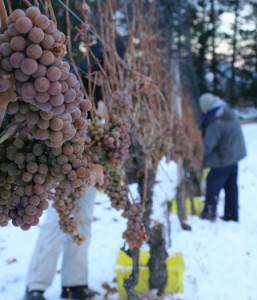 На фото - неукрывной виноград Подмосковья, blogs.vancouversun.com