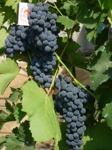 Фото морозостойкого винограда Альфа, floraprice.ru