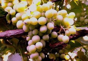 На фото - высокоурожайный морозостойкий виноград Кэй Грэй, kamelia-gardens.ru