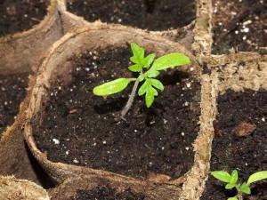 Подкормка и закалка растений – залог здоровья рассады
