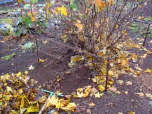На фото - уборка листьев вокруг крыжовника осенью, liveinternet.ru